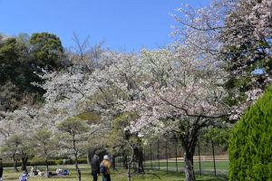 サッカー場とテニスコート間の桜