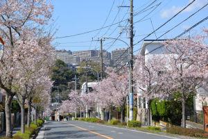 片吹信号、西芝団地の桜