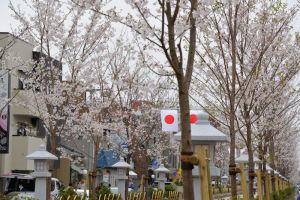 桜はまだ7分咲きほどでした