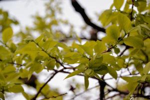 柿の木の葉も少しの間で大きくなり