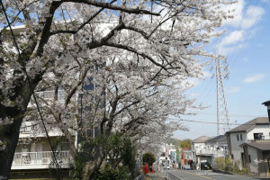 毎年楽しませてくれる団地の桜