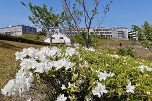 湘南国際村ツツジが咲き始めました