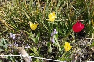 チューリップも咲いていました