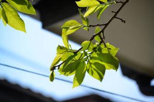 新緑の柿の葉は陽に当たり