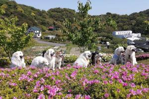大型犬を連れたグループがツツジと記念撮影